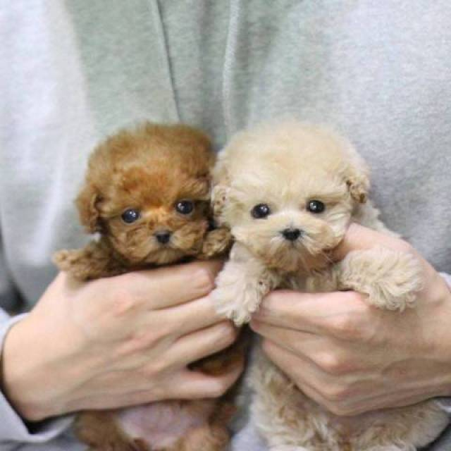 MICRO TEACUP PUPPIES AVAILABLE FOR SALE - Los Angeles - Animal. Pet