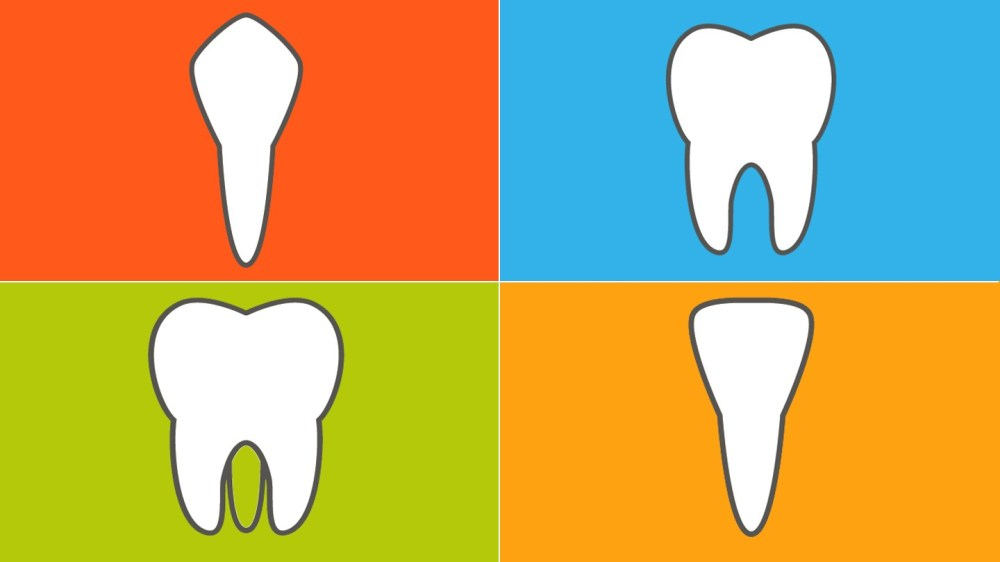 medium resolution of the 4 types of teeth and how they function