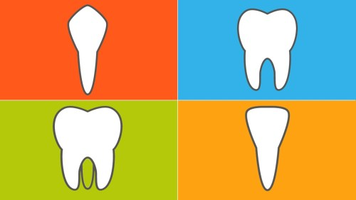 small resolution of the 4 types of teeth and how they function