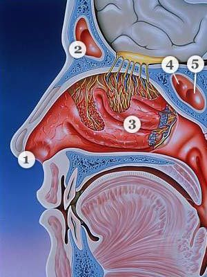 ear nose and throat diagram wiring diagrams for trailer lights common complaints everyday health anatomy of the