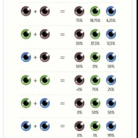 The gallery for --> Mendel Genetics Eye Color