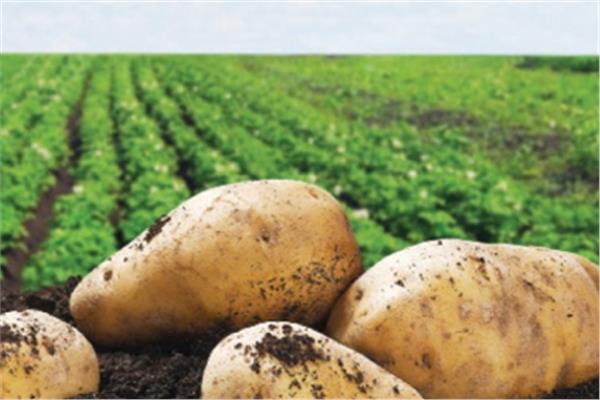 نتيجة بحث الصور عن محصول البطاطس