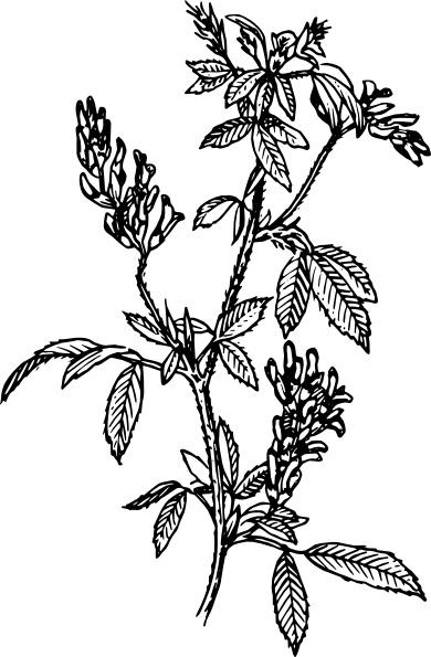 alfalfa clip art free vector