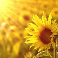 JESUS, MAY I, YOUR SUNFLOWER BE (A Song for When Joy is Lacking)