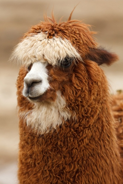 Cool Car Wallpapers In Hd Alpaca Pictures Free Stock Photos Download 28 Free Stock
