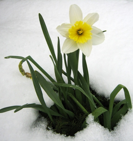 daffodil spring snow