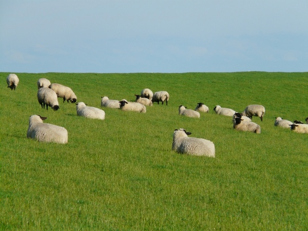 flock of sheep group rest