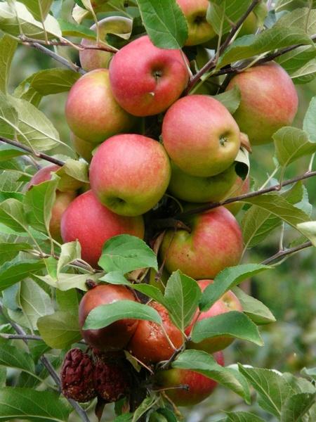 Car Wallpapers Opst Harvest Apple Ripe Free Stock Photos In Jpeg Jpg