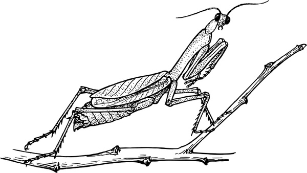 Mantis Free vector in Open office drawing svg ( .svg