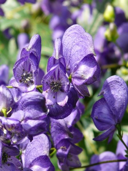 Monkshood aconitum napellus aconite Free stock photos in ...