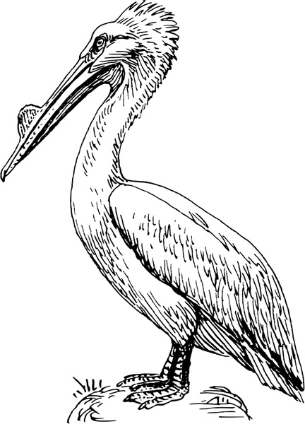 Pelican Free vector in Open office drawing svg ( .svg