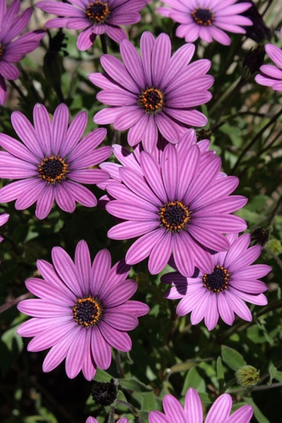 purple african daisy blooms