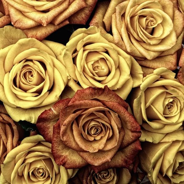 roses flower love