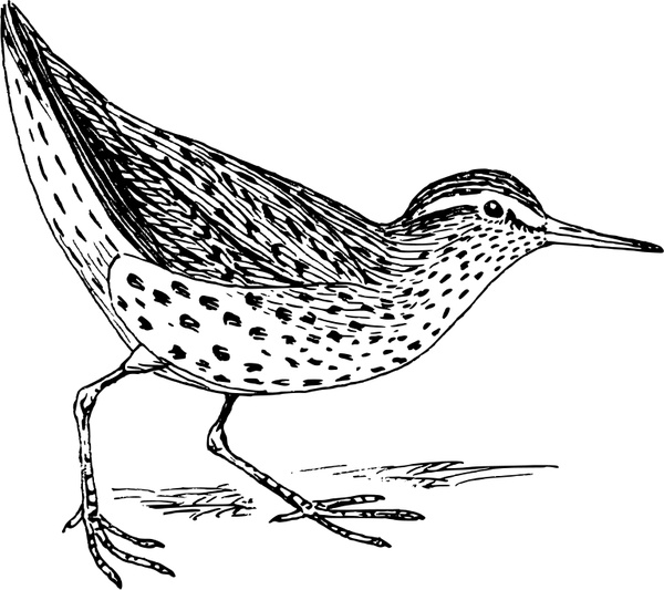 Sandpiper Free vector in Open office drawing svg ( .svg