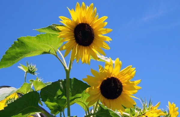 sunflowers sunshine flower