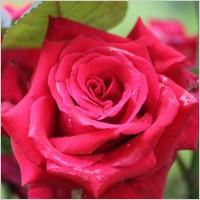 wild red rose