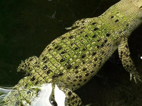 free crocodile images free