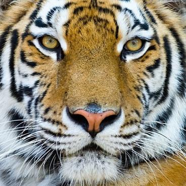 tiger free stock photos
