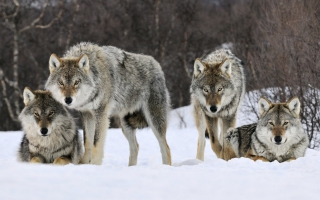 Angry wolves wallpaper wallpapers for free download about 3 017 wallpapers