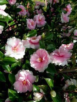 dream weaver sasanqua camellia