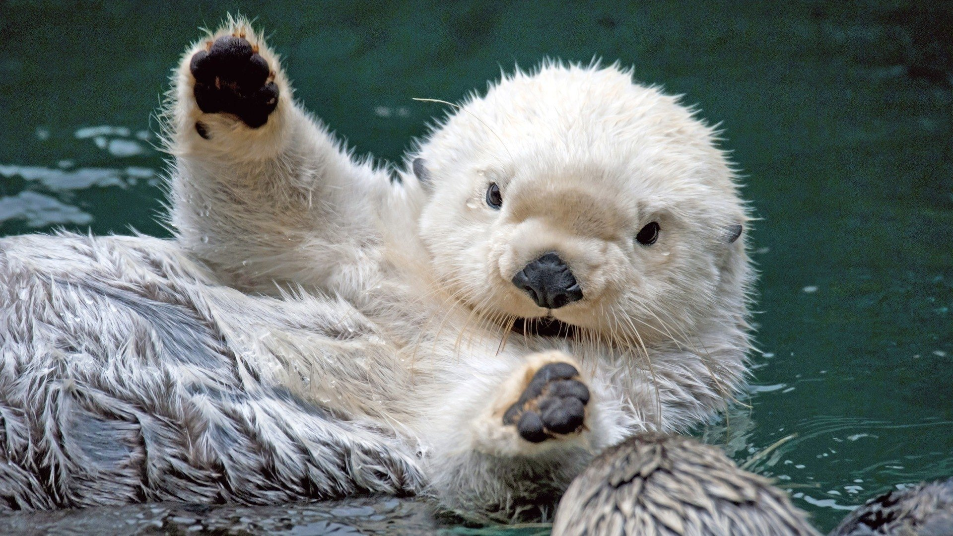 Cute Otter Wallpaper Otter Full Hd Wallpaper And Hintergrund 1920x1080 Id