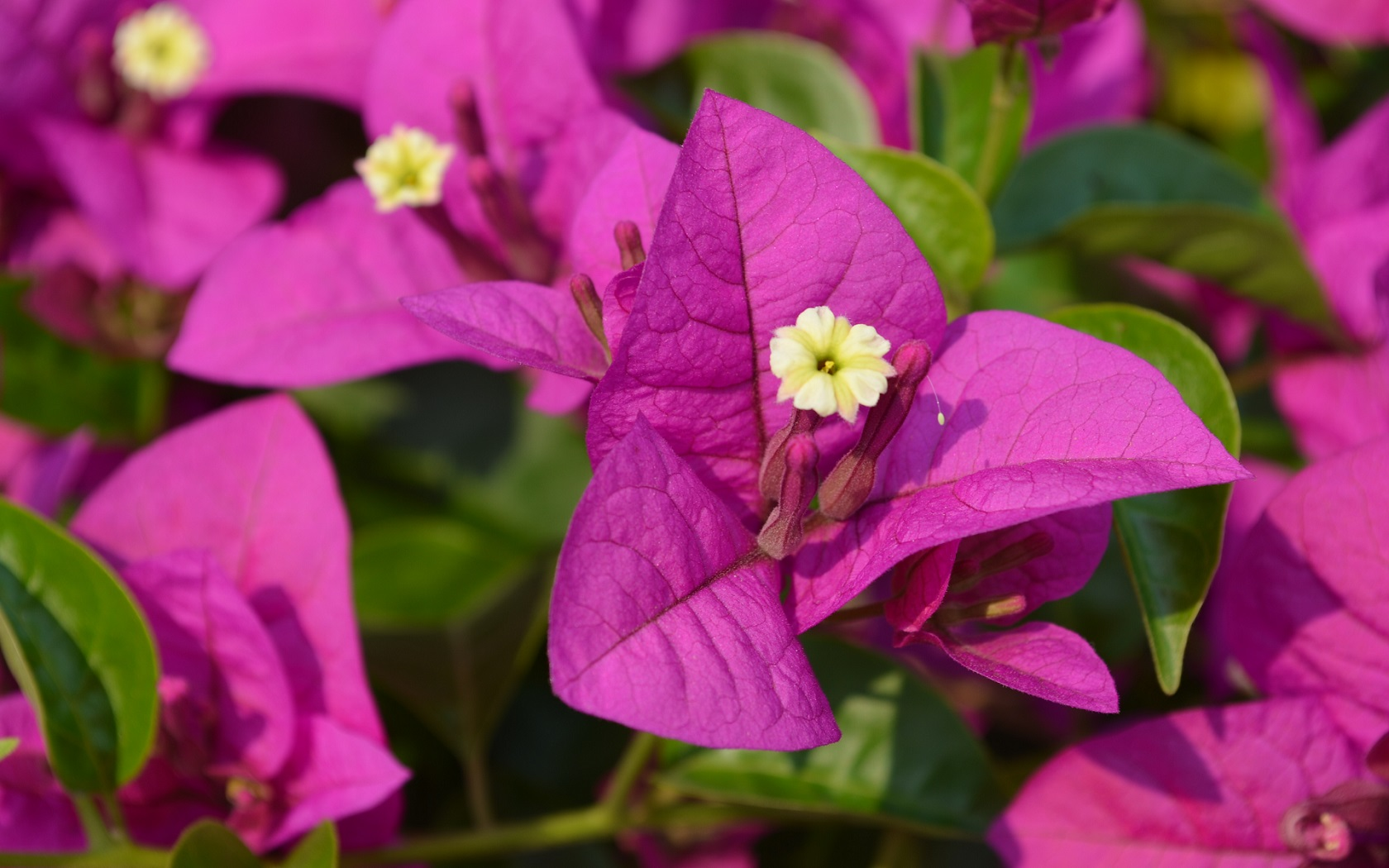 Purple Flower Iphone Wallpaper Bougainvillea Glabra Wallpaper And Background Image