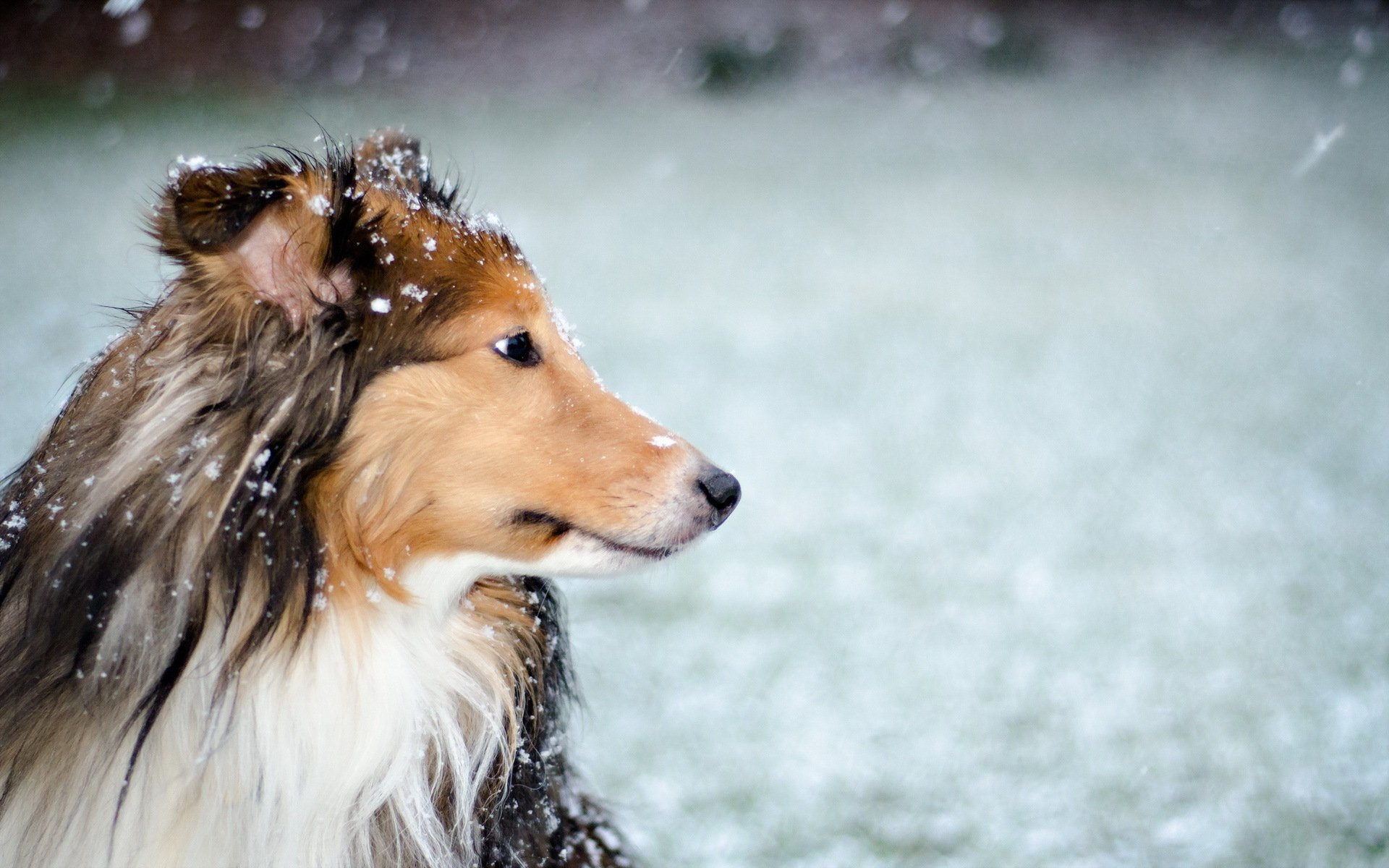 Download Hd Wallpapers Of Cute Puppies Rough Collie Full Hd Wallpaper And Background Image