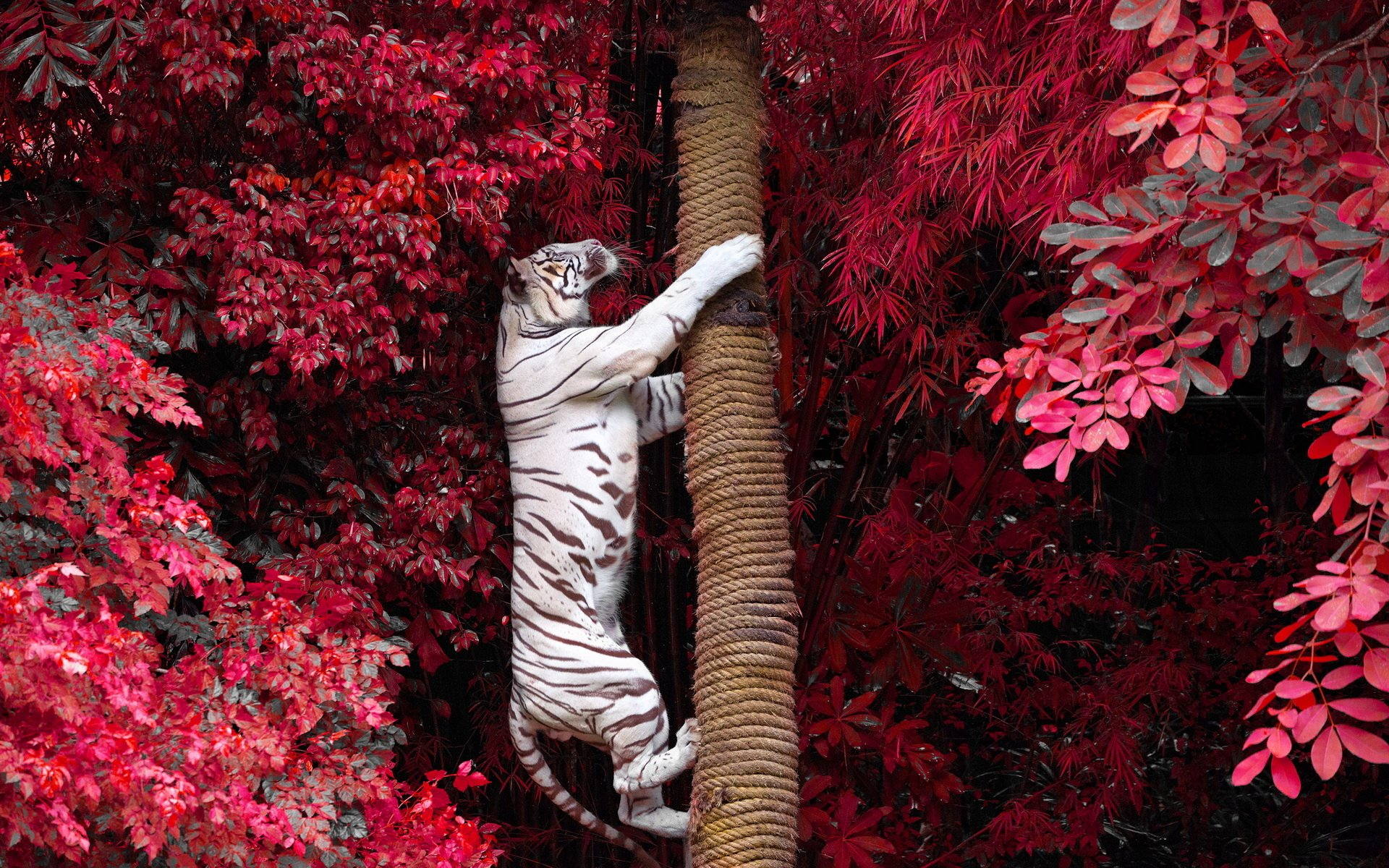 231 white tiger hd wallpapers | backgrounds - wallpaper abyss