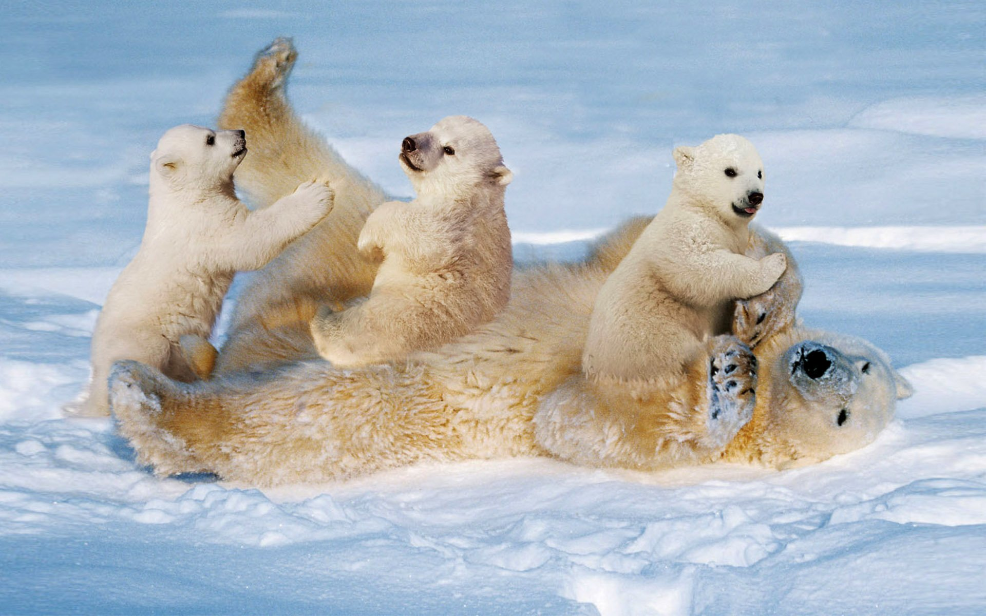 Cute Baby Polar Bear Wallpaper Polar Bear Cubs Playing With Mom Hd Wallpaper Background