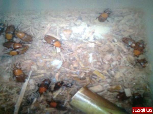 Kumbang Memusnahkan Ratusan Hektar Kebun Kurma Yahudi Blog