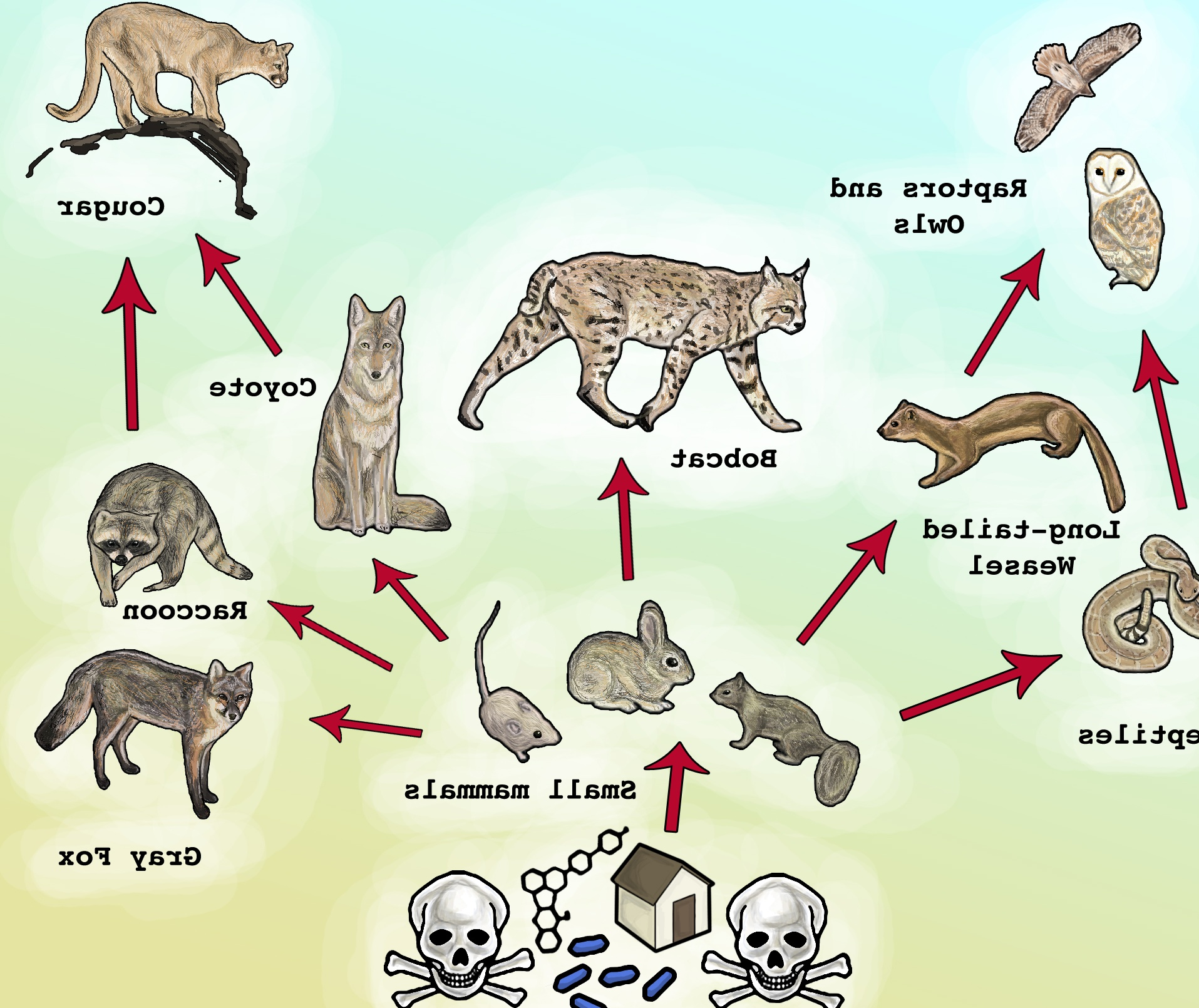 Gray Wolf Food Chain Picture