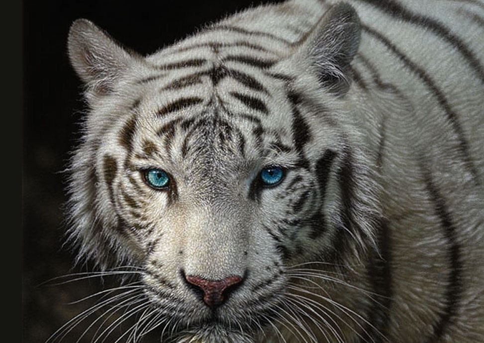 White Tiger Pictures on Animal Picture Society