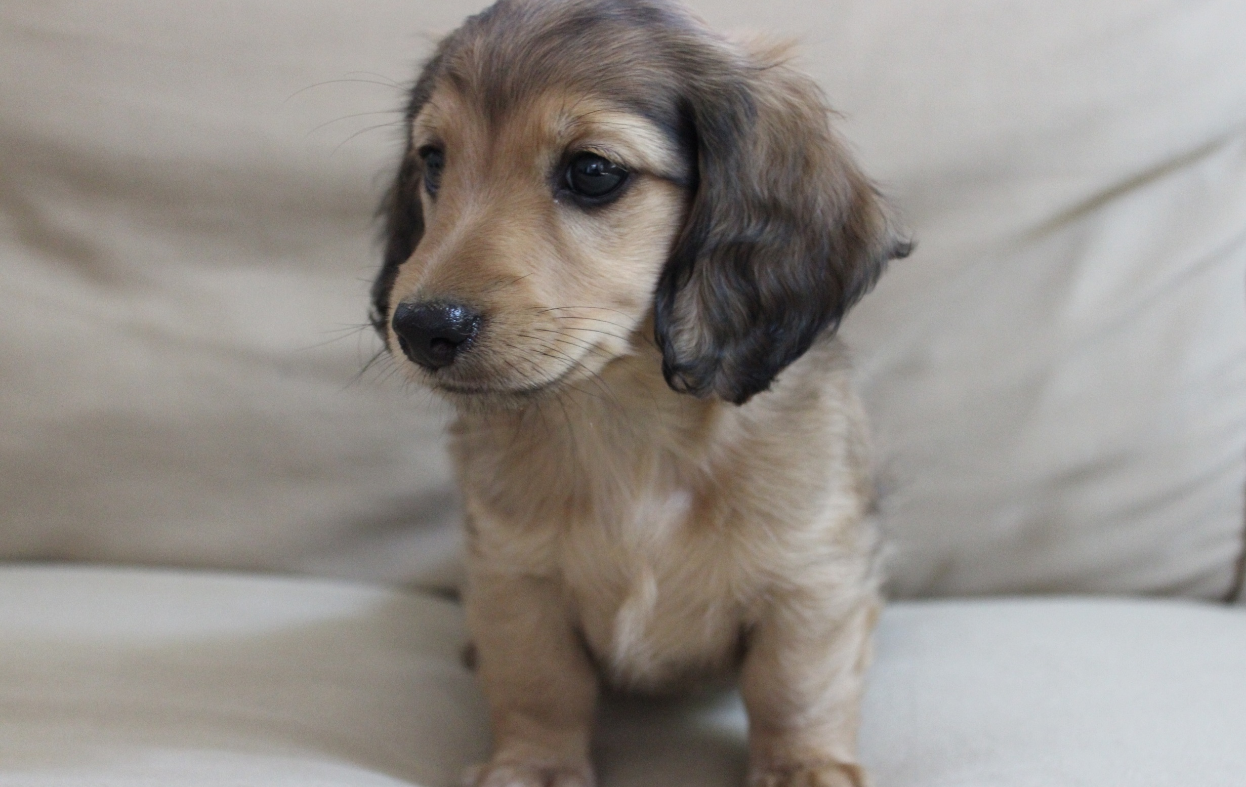 List Of Pictures Of Puppy Dachshunds On Animal Picture Society
