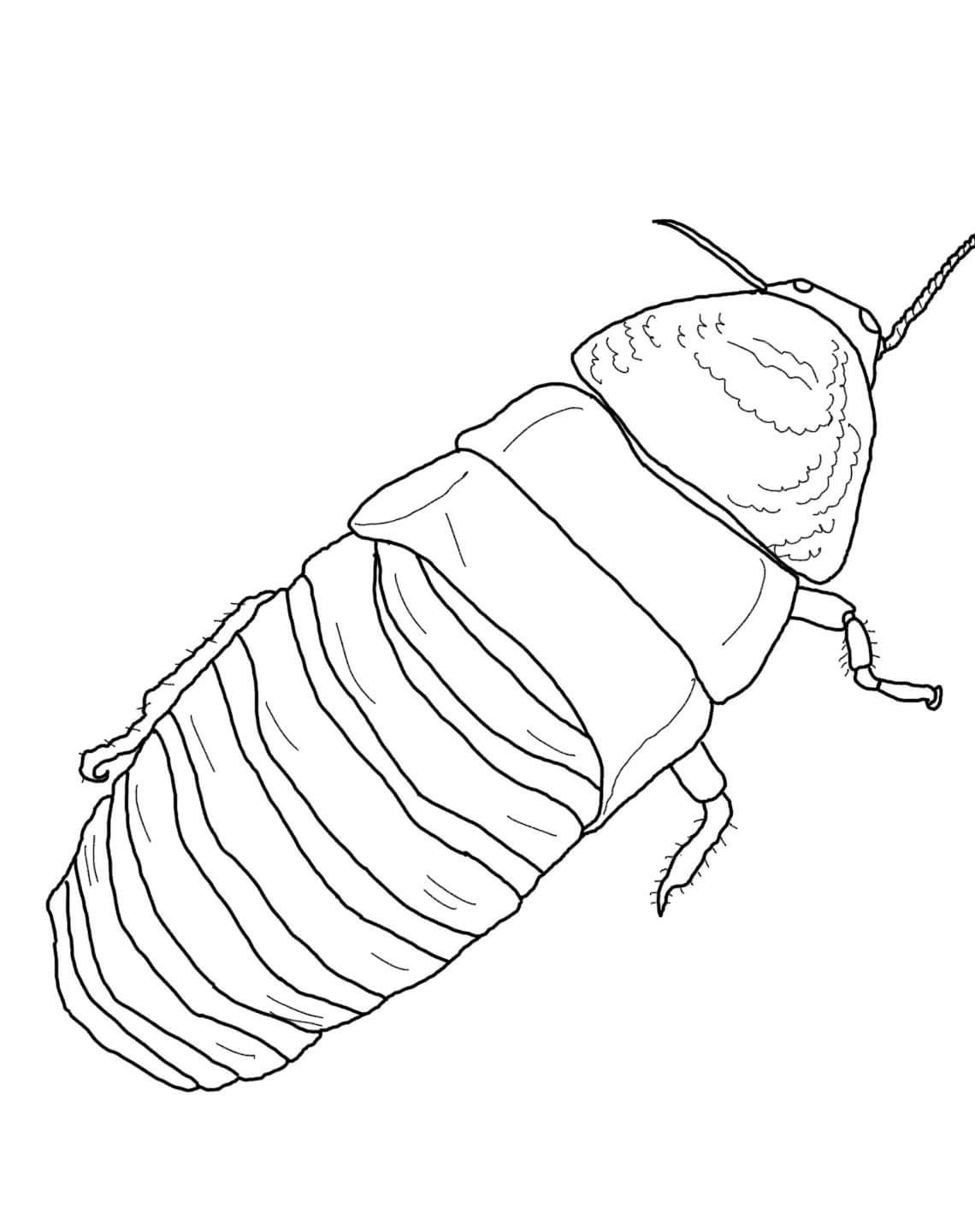 Set Of Hissing Cockroach Pictures Image Gallery On Animal Picture Society