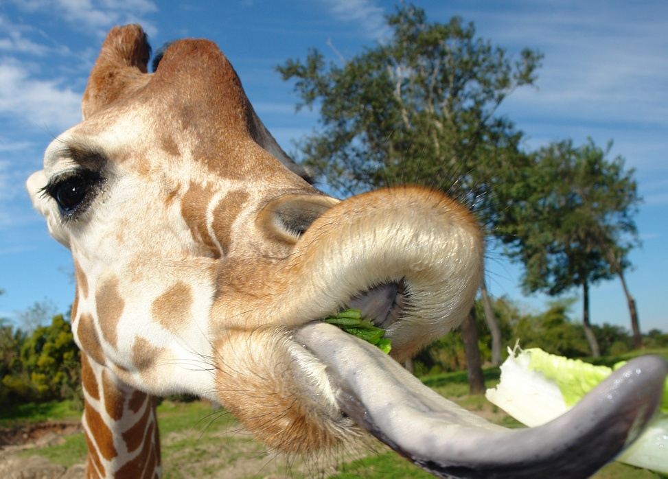 giraffe tongue pictures image