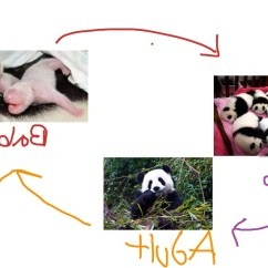 Panda Bear Diagram Roller Shutter Switch Wiring Life Cycle Of A In Pictures On Animal Picture Society