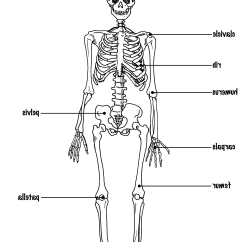 Kids Skeletal System Diagram Headlight Wiring Perfect Pictures Labeled Quality On For