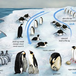 Tiger Shark Life Cycle Diagram Wiring A Duplex Outlet Displaying Penguin Lifespan Pictures On Animal Picture Society