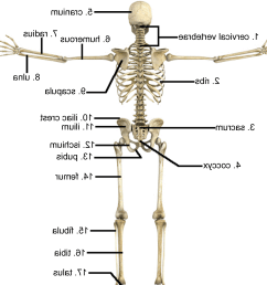 gallery description skeletal system pictures labeled [ 1517 x 1408 Pixel ]