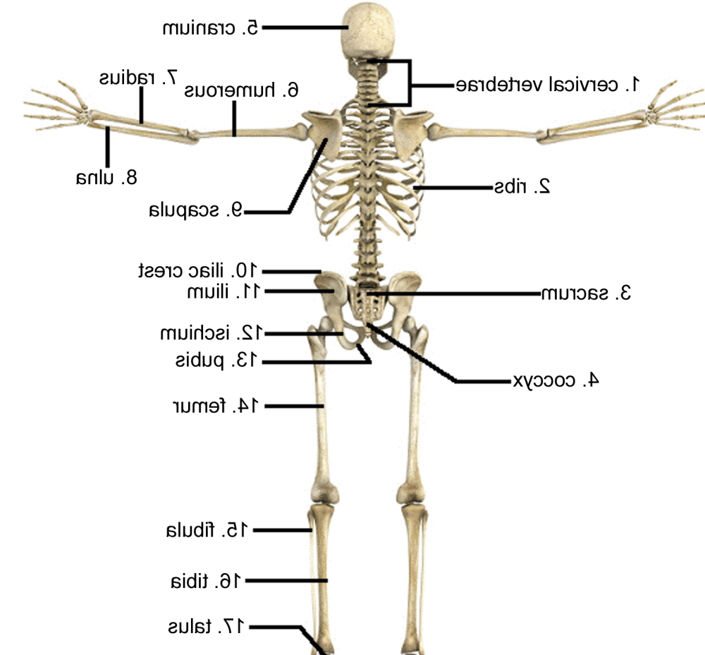 medium resolution of gallery description skeletal system pictures labeled