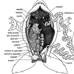 Labeled Frog Anatomy Diagram 1990 Ford F150 Starter Relay Wiring Pictures Of The Skeletal System On Animal Picture