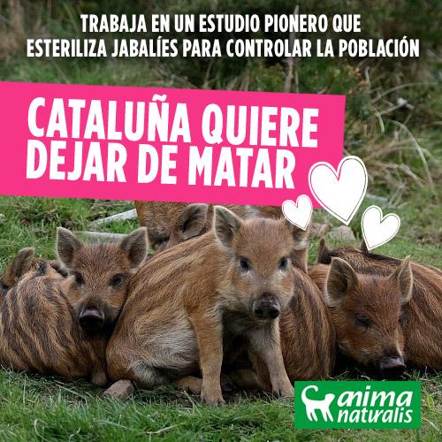 Cataluña sacará adelante un estudio pionero que esteriliza jabalíes para controlar la población
