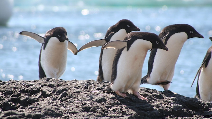 adélie penguins animal mating
