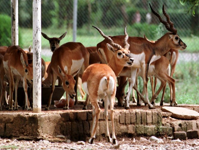 The blackbucks are an endangered species. (Photo: Reuters)