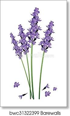 Lavender Flower Background : lavender, flower, background, Purple, Lavender, Flowers, White, Background,, Print, Barewalls, Posters, Prints, Bwc31322399
