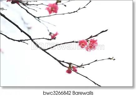sakura japanese cherry blossoms art print poster