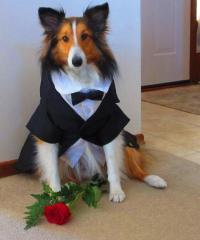 Dapper Tuxedo Dog Halloween Costume | BaxterBoo