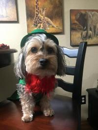 Leprechaun Dog Costume with Same Day Shipping