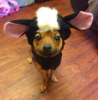 Lil' Stinker Skunk Dog Halloween Costume | BaxterBoo