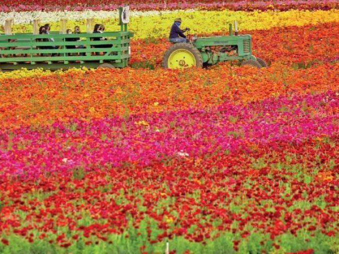 अमेरिका के कैलिफोर्निया स्थित 55 एकड़ में फैली कार्ल्सबैड की घाटी सात करोड़ फूलों से गुलजार हो उठी है, यहां रेननकुलस की अलग-अलग प्रजातियों के फूल खिले हैं। - Dainik Bhaskar